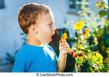 Adorable small boy eats raspberries