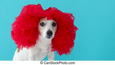 Adorable small dog in red wig looking at camera on blue...