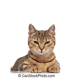adorable tabby british fold cat lying and looking grumpy