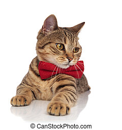 adorable tabby british fold with red bowtie looks to side