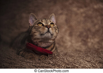 adorable tabby cat with red bowtie looks up