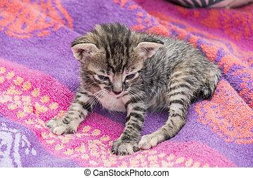 adorable, tabby, somnolent, chaton