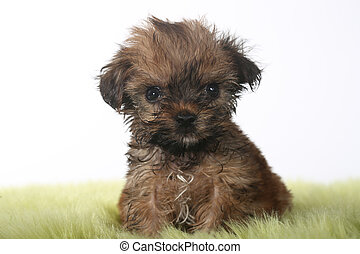 Teacup Yorkshire Terrier on White Background