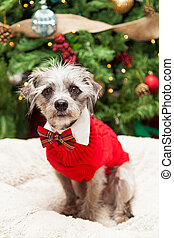 Adorable Terrier Dog in Christmas Sweater