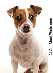 adorable, terrier, russell, portait, gato