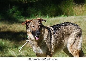 Adorable Tied German Shepherd Dog