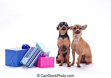 Adorable tiny dogs and gift boxes.