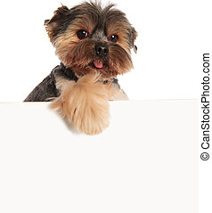 adorable toy yorkie panting with paw hanging on white board...