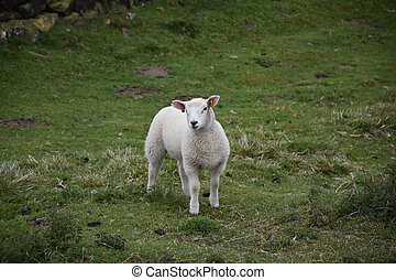Adorable White Lamb Standing in a Field on the Dales