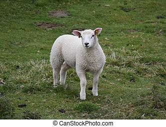 Adorable White Lamb with Pink Ears Standing in a Field