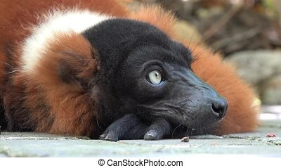 Adorable Wild Lemur Resting