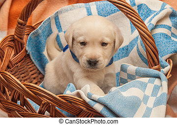 labrador puppy in the basket