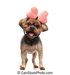 adorable yorkshire terrier wearing pink bow, panting and sticking out tongue, standing isolated on white background in studio, full body