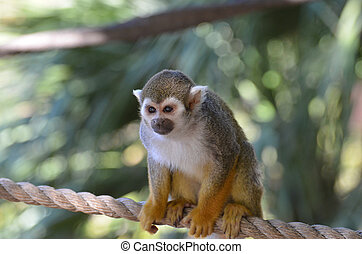 Adorable Young Squirrel Monkey Sitting on a Rope