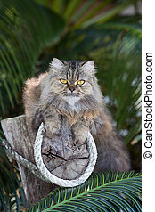 Adorably cute tabby Persian Ragdoll cat sitting relaxed on...