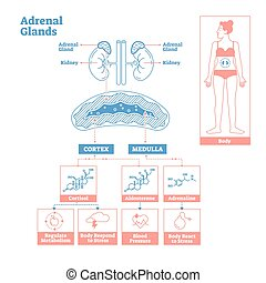 Adrenal Glands of Endocrine System. Medical science vector illustration diagram. Biological scheme with cortisol, aldosterone and adrenaline effects such as metabolism, stress response and blood pressure.