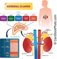 Adrenal glands vector illustration. Labeled scheme with hormones types