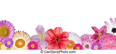 adskillige, lyserød, rød, hvid blomstrer, hos, bund, række, isoleret, på hvide, baggrund., udvælgelse, i, strawflower, clematis, bellis, dahlia, primula, engelsk daisy