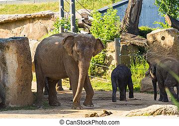 adult., 年輕, 大象