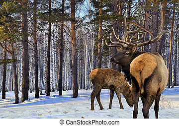 Adult and a small red deers (Cervus elaphus sibiricus) -...