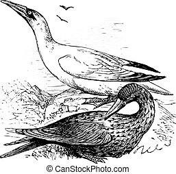Adult and immature northern gannets or Morus Bassanus old engraving in black in white, converted to vector