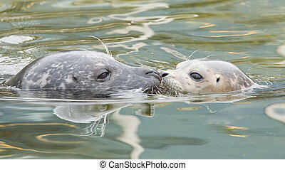 Adult and yound grey seal - Adult and young grey seal nose...