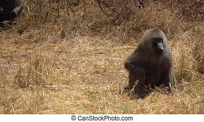 Adult Baboon Monkey Sitting on Ground in Natural Habitat, African Savannah