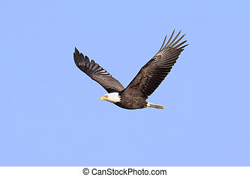 Adult Bald Eagle (haliaeetus leucocephalus) in flight ...