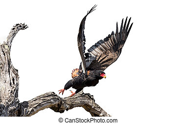 Adult Bateleur taking off from a dry tree high key artistic conversion
