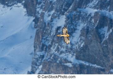 adult bearded vulture (gypaetus barbatus) flying, rocks, ...