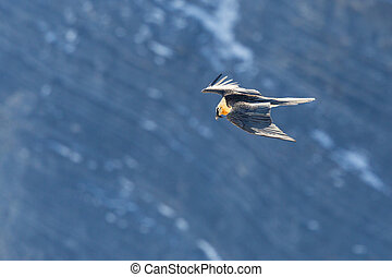 bearded vulture (gypaetus barbatus) in flight at rocky cliff...