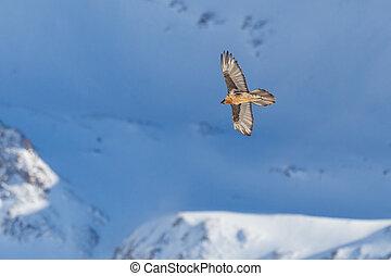 bearded vulture (gypaetus barbatus) in flight in snowy ...
