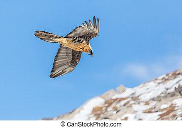 adult bearded vulture (gypaetus barbatus) in flight, rocks...