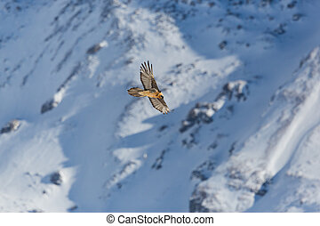 adult bearded vulture (gypaetus barbatus) in flight with ...
