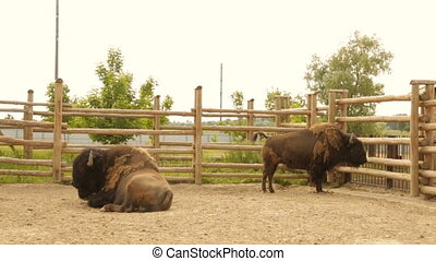 Adult bison on the ranch