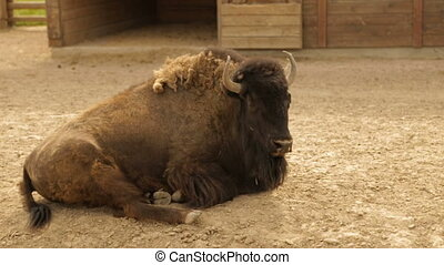 Adult bison on the ranch - Big Bison,full hd video,Slow...