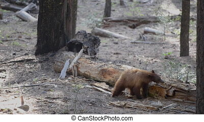 Adult Black Bear and a Cub Yosemite National Park California...