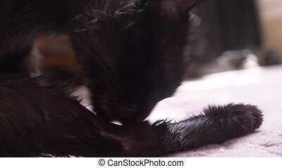 Adult black cat washes paws with language. in the room...