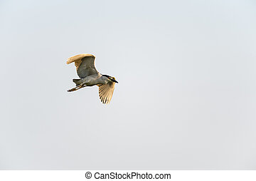 Adult Black-crowned Night-Heron in flight