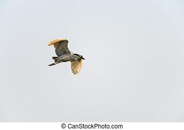 Adult Black-crowned Night-Heron in flight