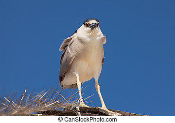 Adult Black-crowned Night Heron, Nycticorax nycticorax