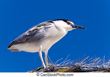 Adult Black-crowned Night Heron, Nycticorax nycticorax isolated on blue sky background