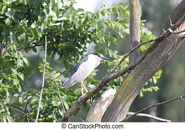 Adult black-crowned night heron - This black-crowned night...