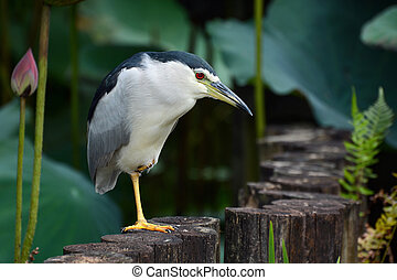 Adult black-crowned night heron waiting patiently at a pond edge for a fish