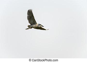 Adult Black-crowned Night-Heron wings high