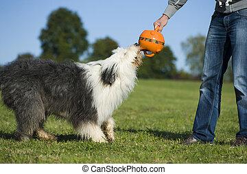 Adult bobtail dog