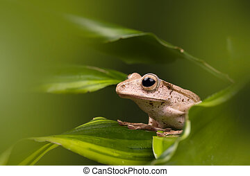 Adult Borneo Eared frog on green leaves