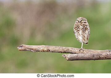 adult burrowing owl - Burrowing Owl at Vancouver BC Canada, ...