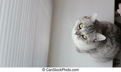 Adult cat looking up at the camera while sitting on podokonike front of the window .