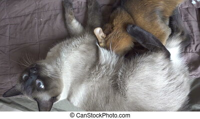 Adult cat mekong bobtail and kitten somali. Kitten sucks ...